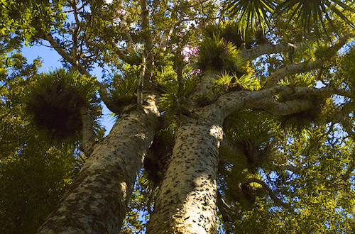 The mighty Kauri tree