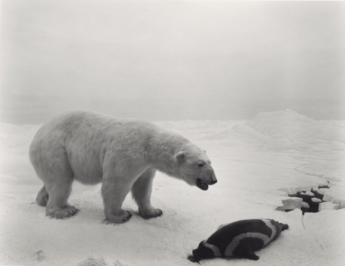Polar Bear, 1976, Hiroshi Sugimoto, gelatin silver print. The J. Paul Getty Museum, purchased with funds provided by the Photographs Council. © Hiroshi Sugimoto